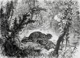 This drawing by A. de Neuville is based on an original by Louis Delaporte which was sketched during the French Mekong Exploration Commission's two-year venture (1866-68) into the jungles of Indochina. The deer was slain in front of their eyes by the tiger. The French colonialists fired off a couple of shots and drove the animal away, then cut off the stag's hindquarters and carried it to Siem Reap where the meat was salted, and fed the explorers for several days.